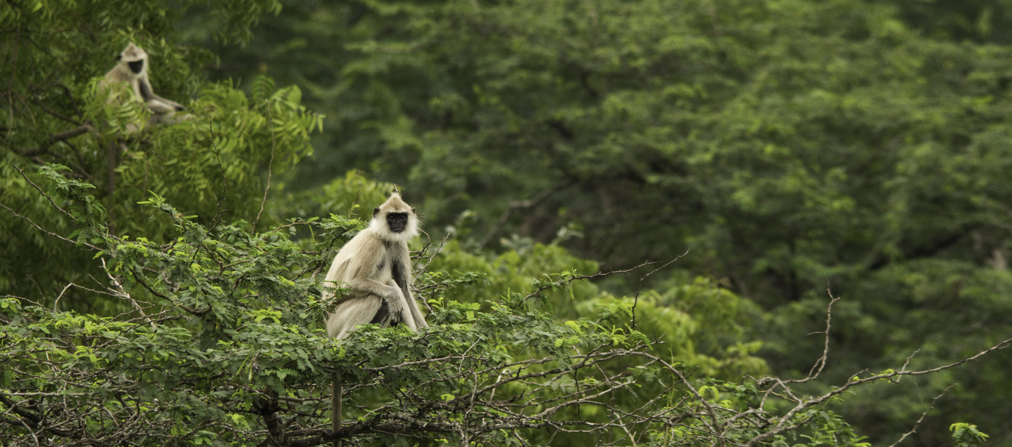 A watchful Hanuman Langur perched in the forest canopy, Chinnar Forest.