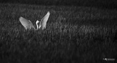 The great egret (Ardea alba), also known as the common egret, large egret, or (in the Old World) great white egret or great white heron is a large, widely distributed egret, with four subspecies found in Asia, Africa, the Americas, and southern Europe.