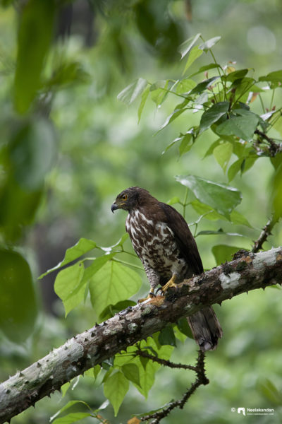 The crested goshawk (Accipiter trivirgatus) is a bird of prey from tropical Asia. It is related to other diurnal raptors such as eagles, buzzards (or buteos) and harriers, and thus placed in the family Accipitridae.