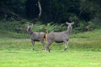 The sambar Deer, Rusa unicolor from Periyar Tiger Reserve.