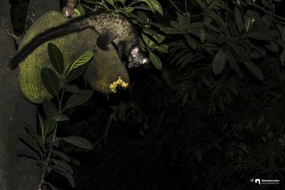 Asian palm civet, Nocturnal visitor at home.