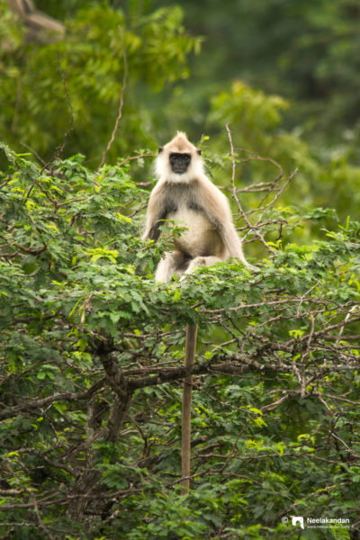 Hanuman langurs in the canopies of Chinnar, Kerala