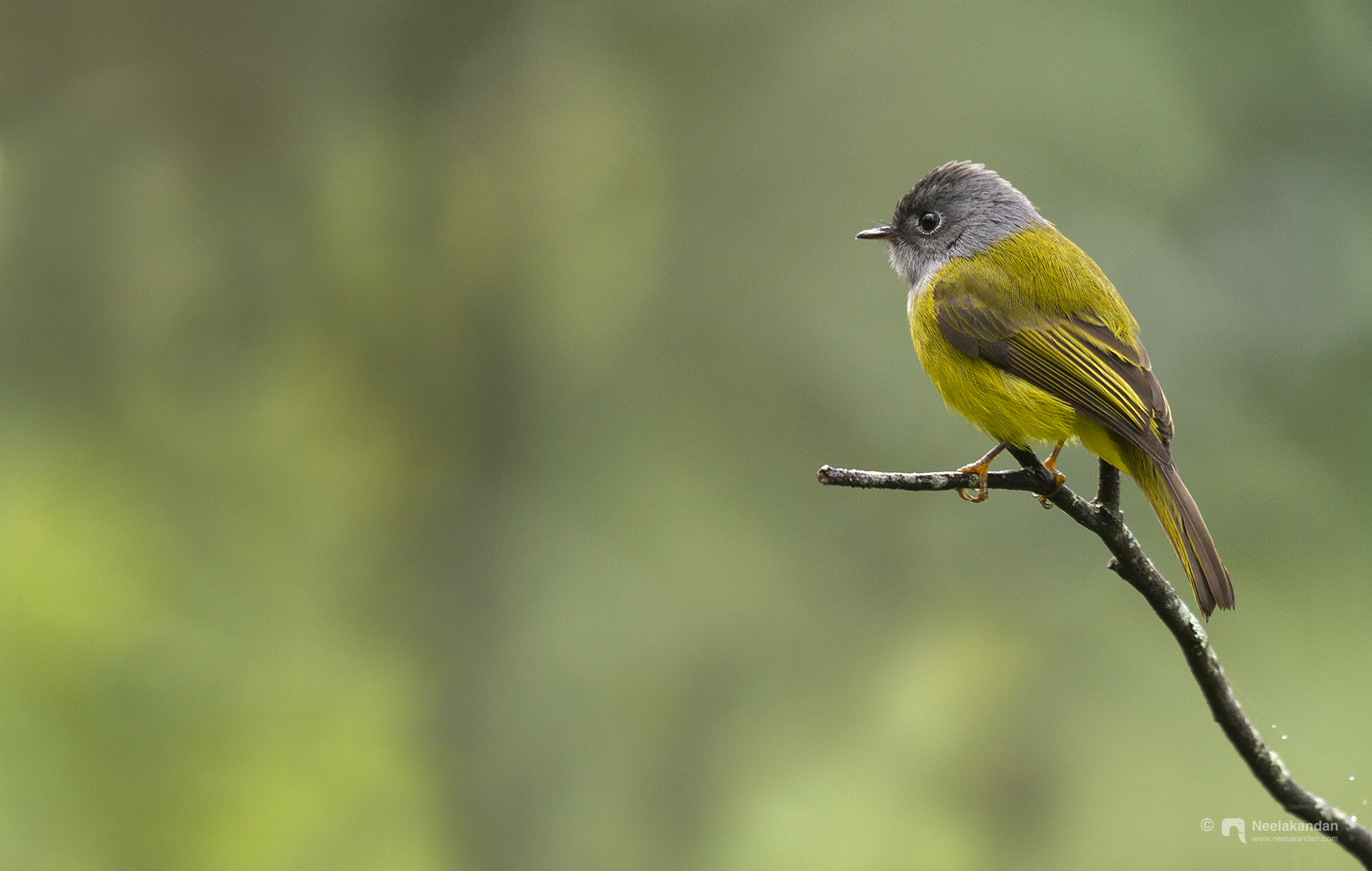 Grey headed canary flycatcher from PSNP, Munnar.
