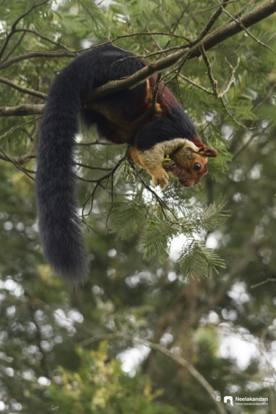 Malabar giant squirrel feeding in the canopy. From Panpadum shola national park, Munnar, Kerala.