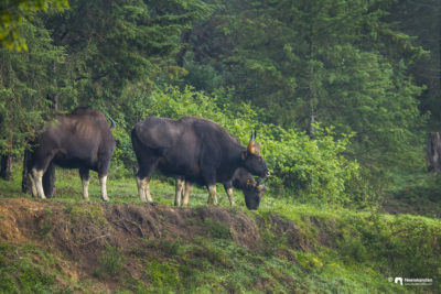 The Gaurs of Pampadum shola national park, Munnar, Kerala.