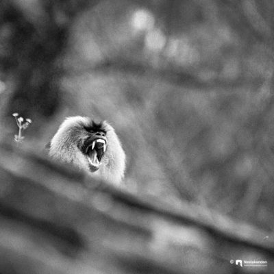 The loud Cry for Existence - Lion Tailed Macaque
