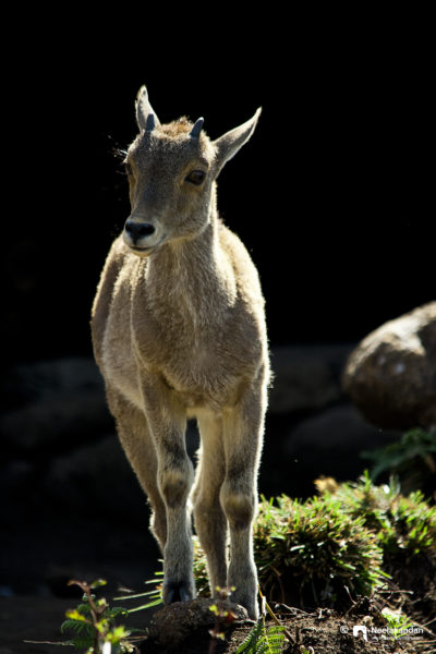 A Nilgiri Tahr calf in the morning light of Eravikulam national Park.