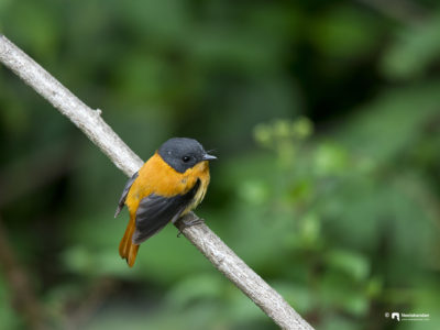 The black-and-orange flycatcher