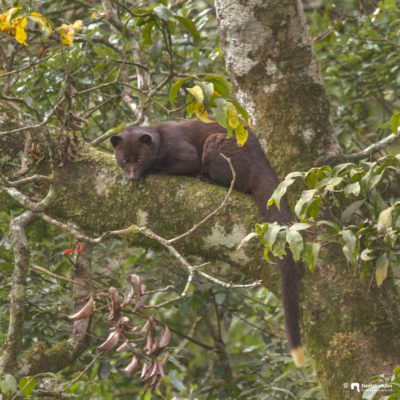 Probably the first image of Brown palm civet, Paradoxurus jerdoni in day light. Shot from Pampadum Sholay National Park, Kerala.