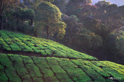 The tea estates of Munnar, idukki, Kerala
